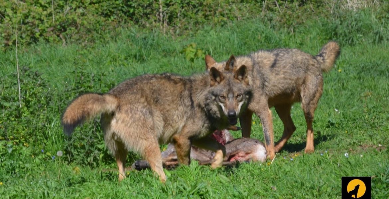 lobos carroña