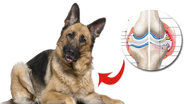 perro cuidado articulaciones