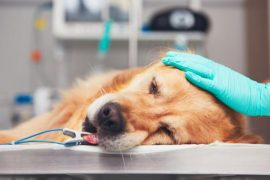 anemia perros