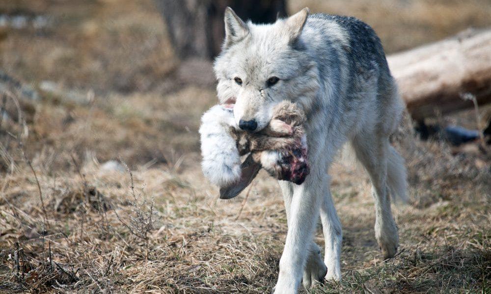dieta lobos