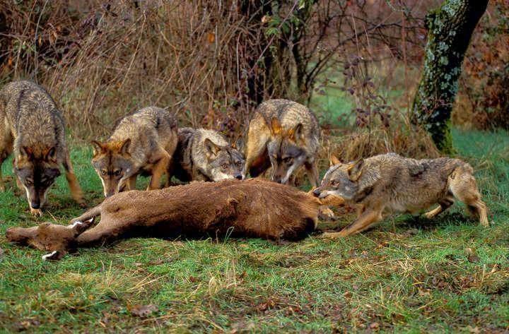 dieta lobos cazando