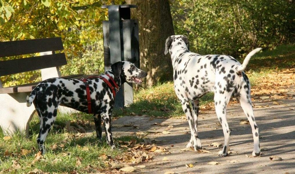 fecundacion canina