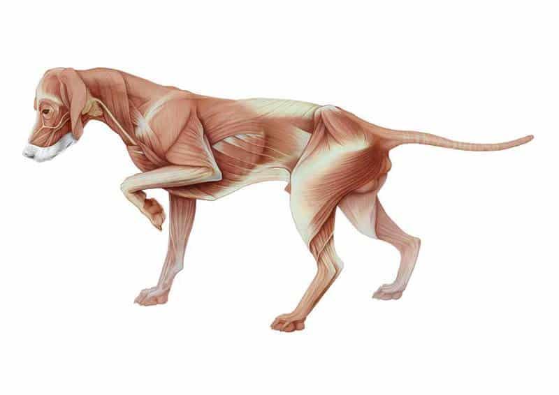 masa muscular perros