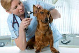 otitis canina veterinario
