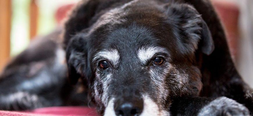 perro envejecimiento telomerasa