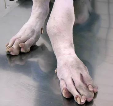 osteodistrofia hipertrofica perros