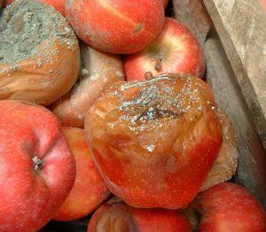 hongos frutas alternaria