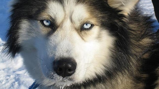 lobos ancestrales husky siberiano