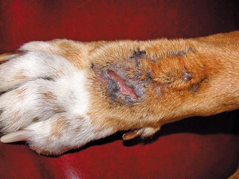 estafilococos aureos perros