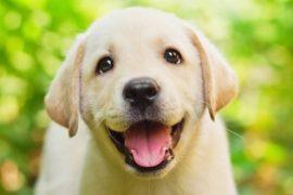gen engordar perro labrador