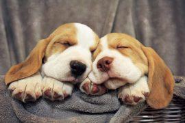 perros aprenden mientras sueñan Biodog