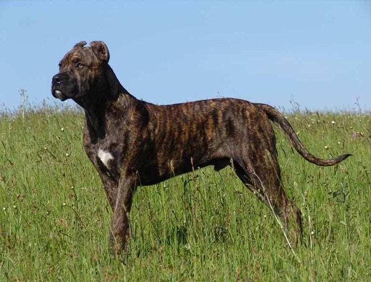 Alano espanol_razas de perro