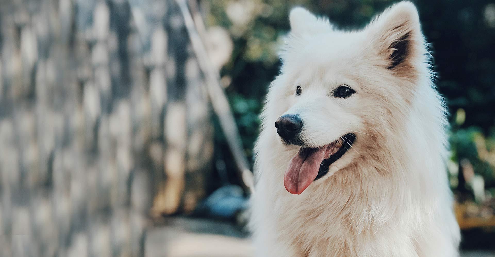 Samoyedo Dieta Barf Biodog