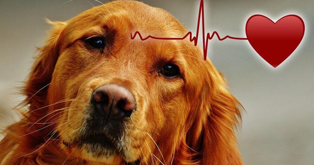 cardiopatias perros