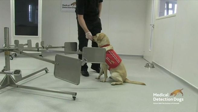 perros detectan coronavirus covid-19